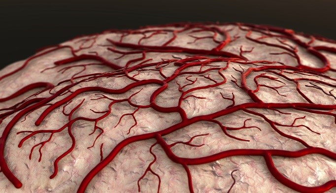 Brain blood vessels